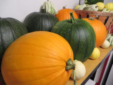 Fall vine crops including heirloom pumpkins and mixed gourds.